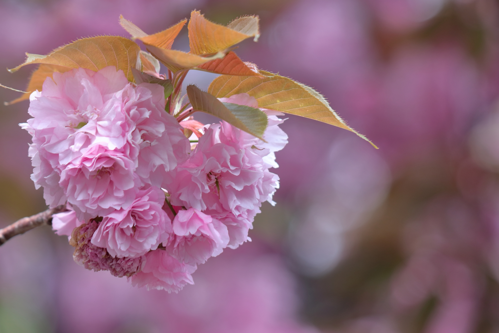 Enjoy the arrival of spring with organic salted cherry blossoms